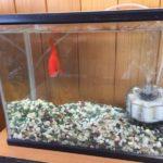 金魚の寿命ってどのくらい? ストレスで金魚がやさぐれてきたので水槽を大きいものに交換しました♪